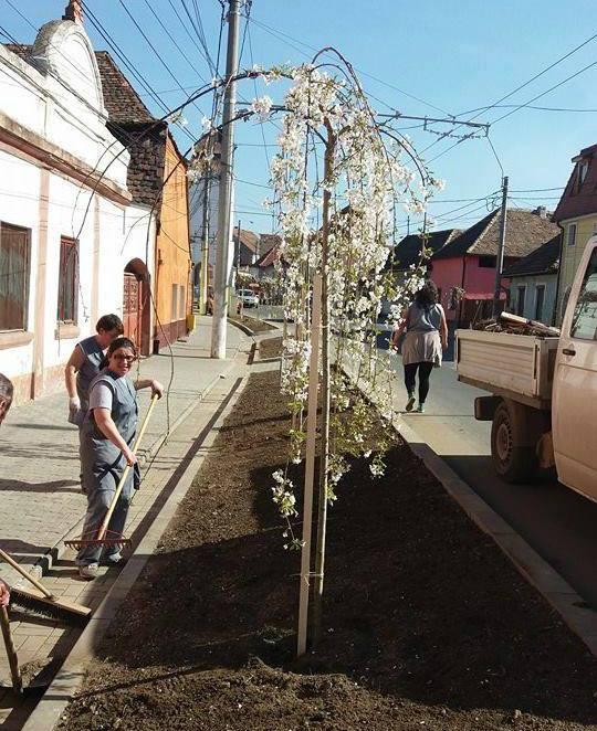 Ciresi ornamentali plantati la Medias